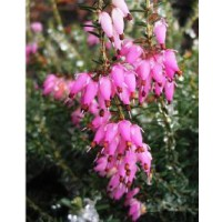 Bruyère des neiges 'december red' / erica carnea 'december red'