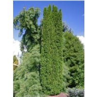 Thuya du canada 'degroot's spire' / thuja occidentalis 'degroot's spire'