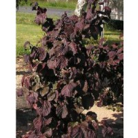 Noisetier tortueux 'red majestic'® / corylus avellana 'red majestic'®