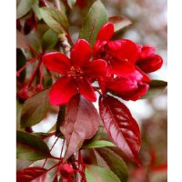 Pommier 'royalty' / malus 'royalty'