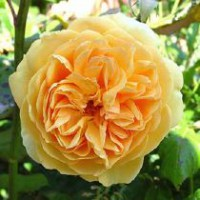Rosier anglais 'crown princess margareta' / rosa x anglais 'crown princess margareta'