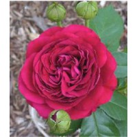 Rosier anglais 'the dark lady' / rosa x anglais 'the dark lady'