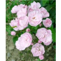 Rosier arbuste moschata 'heavenly pink' / rosa x moschata 'heavenly pink'