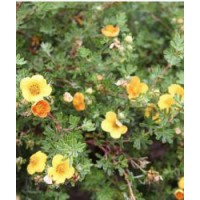 Potentille arbustive 'hopley's orange' / potentilla fruticosa 'hopley's orange'