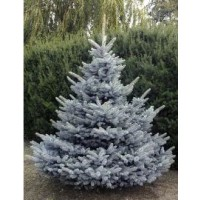 Sapin bleu, epicéa du colorado 'blue diamond' / picea pungens 'blue diamond'