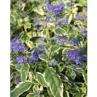 Barbe-bleue, spirée bleue 'white surprise'® / caryopteris x clandonensis 'white surprise'®