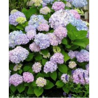 Hortensia 'endless summer'® the original / hydrangea macrophylla 'endless summer'® the original