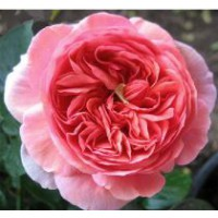 Rosier moderne 'chippendale'® / rosa x thé moderne 'chippendale'®