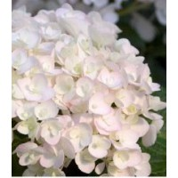 Hortensia 'endless summer'® the bride / hydrangea macrophylla 'endless summer'® the bride