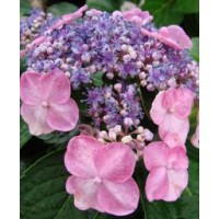 Hortensia 'endless summer'® twist-n-shout / hydrangea macrophylla 'endless summer'® twist-n-shout