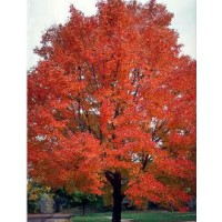 Érable rouge 'red sunset' / acer rubrum 'red sunset'