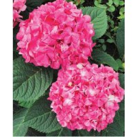 Hortensia 'endless summer'® bloomstar / hydrangea macrophylla 'endless summer'® bloomstar