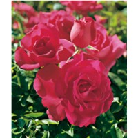 Rosier grimpant 'high society'® / rosa x grimpant 'high society'®