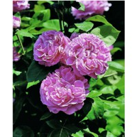 Rosier ancien hybride remontant 'paul neyron' / rosa x remontants 'paul neyron'