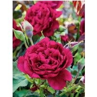 Rosier générosa® 'zayed of abu dhabi®' / rosa x générosa® 'zayed of abu dhabi®'