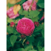Rosier ancien bourbon 'catherine guillot®' / rosa x bourbon 'catherine guillot®'