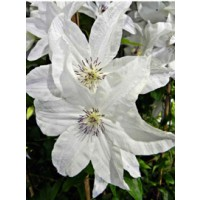 Clématite 'beautiful bride'® / clematis 'beautiful bride'®