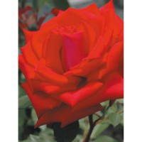 Rosier moderne 'georges duboeuf' / rosa x thé moderne 'georges duboeuf'