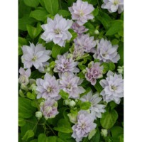 Clématite 'dancing queen®' / clematis 'dancing queen®'