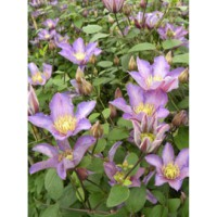 Clématite cireuse 'exciting®' / clematis 'exciting®'