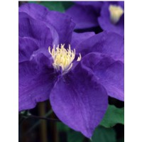 Clématite 'kingfisher™' / clematis 'kingfisher™'