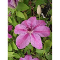 Clématite 'success® candy' / clematis 'success® candy'