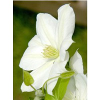 Clématite 'the bride' / clematis 'the bride'