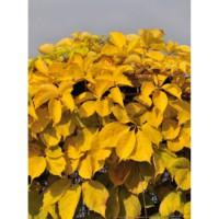 Vigne vierge 'yellow wall' / parthenocissus quinquefolia 'yellow wall'