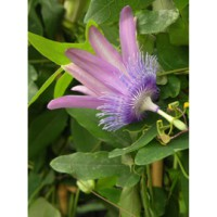 Passiflore 'purple passion®' / passiflora 'purple passion®'