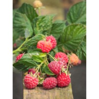 Framboisier 'ruby beauty®' / rubus idaeus 'ruby beauty®'
