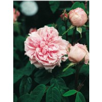 Rosier de banks 'enfant de france' / rosa x remontant 'enfant de france'