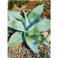Agave guiengola