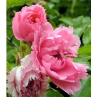 Rosier rugueux 'pink grootendorst' / rosa x rugosa 'pink grootendorst'
