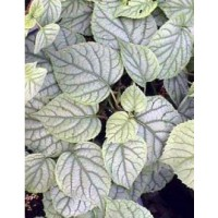 Schizophragma hydrangeoïdes 'moonlight'