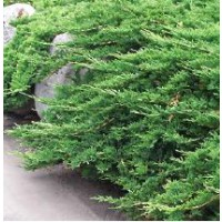 Genévrier horizontal 'prince of wales' / juniperus horizontalis 'prince of wales'