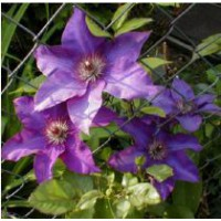 Clématite 'the president' / clematis 'the president'