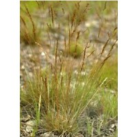 Fétuque ovine, pourret / festuca filiformis