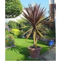 Cordyline 'red star' / cordyline indivisa 'red star'