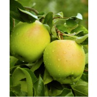 Pommier 'golden delicious' / malus domestica 'golden delicious'
