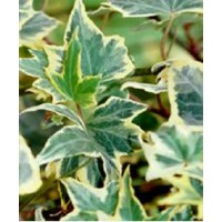 Lierre commun 'yellow ripple' / hedera helix 'yellow ripple'