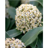 Skimmia du japon 'fragrant cloud' / skimmia japonica 'fragrant cloud'