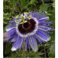 Passiflore, fleur de la passion 'purple haze' / passiflora caerulea 'purple haze'