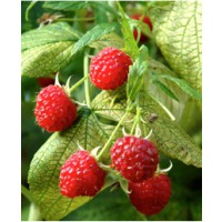 Framboisier 'autumn bliss' / rubus idaeus 'autumn bliss'