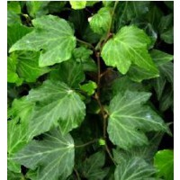 Lierre commun 'green ripple' / hedera helix 'green ripple'