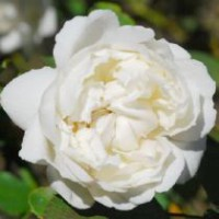 Rosier anglais 'winchester cathedral' / rosa x anglais 'winchester cathedral'