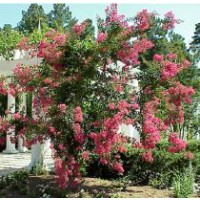 Lilas des indes / lagerstroemia indica