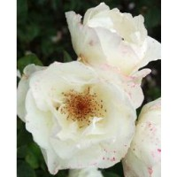 Rosier moderne 'alliance' / rosa x thé moderne 'alliance'