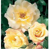 Rosier grimpant 'moonlight' / rosa x grimpant 'moonlight'