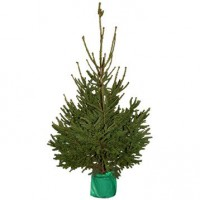 Sapin naturel nordmann en pot h.80/100 cm