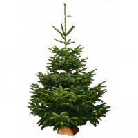 Sapin naturel nordmann coupé h.80/100 cm